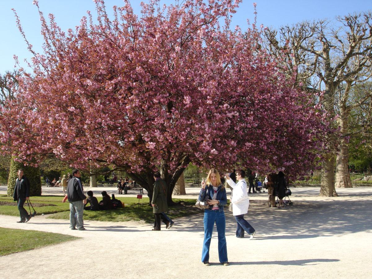 Kirsebærblomstring i Jardin des Plantes (og i livet generelt) i Paris, 2007