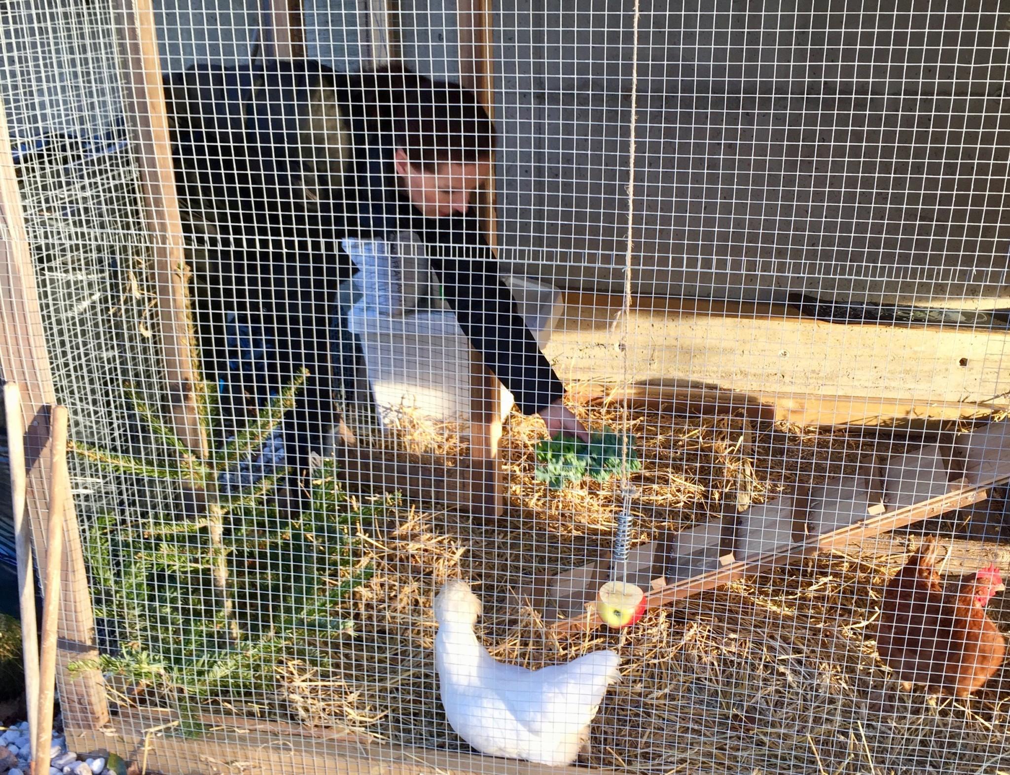 gronnkal-honemat-chicken-honsehus