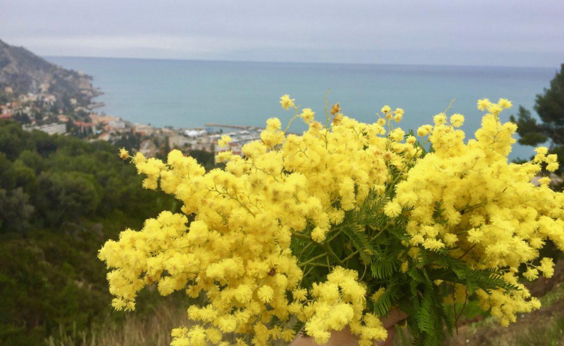 mimosa-bukett-middelhavet-menton-anja-stang