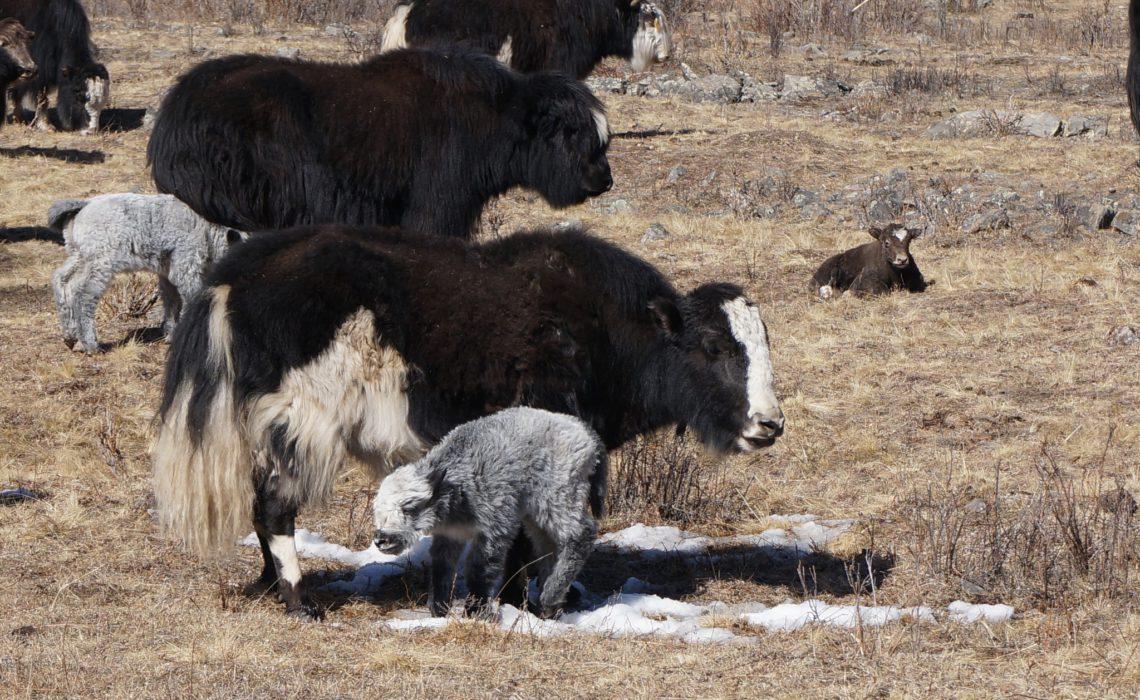 yak-bulls-mongolia-ayo-oslo