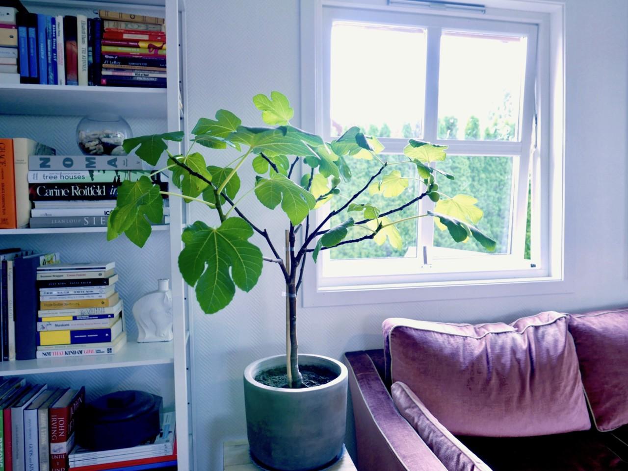 fiken-fig-tree-green-house-velvet-sofa