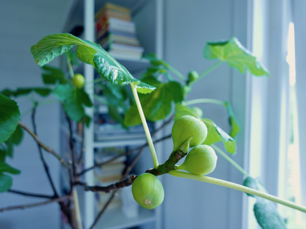 fikentre-fig-tree-shower-plant-lover-green-house