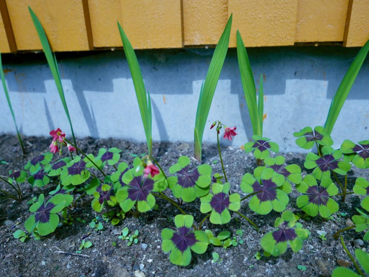 gladiolus-flower-bed-lykkeklover-plants-garden
