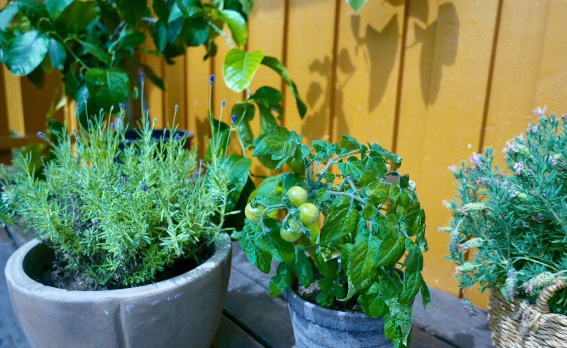 lavendel-pots-terrasse-tomater-lemon-tree-green-house