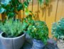 lavendel-pots-terrasse-tomater-lemon-tree-green-house