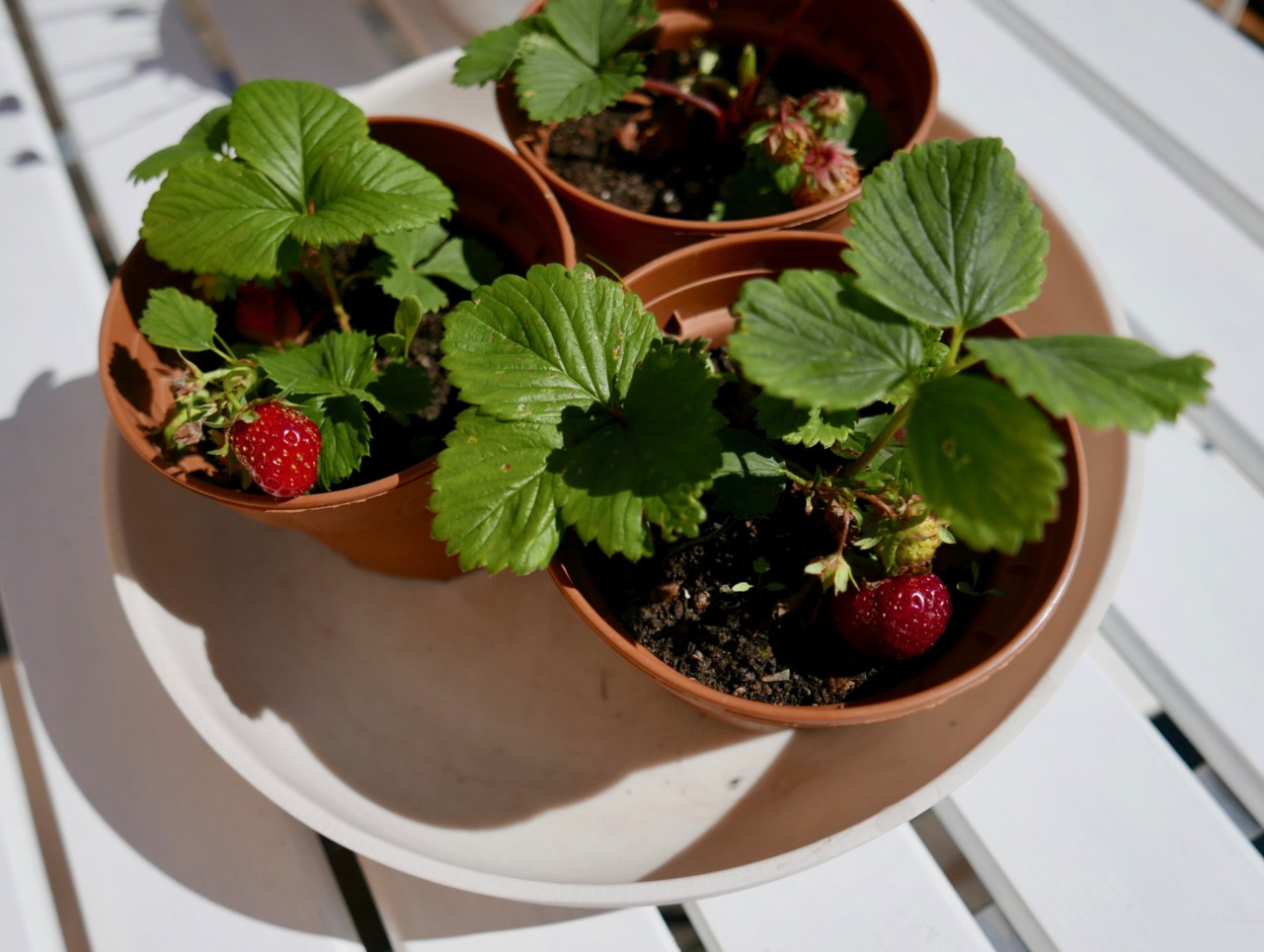 okologiske-jordbær-organic-strawberries-green-house