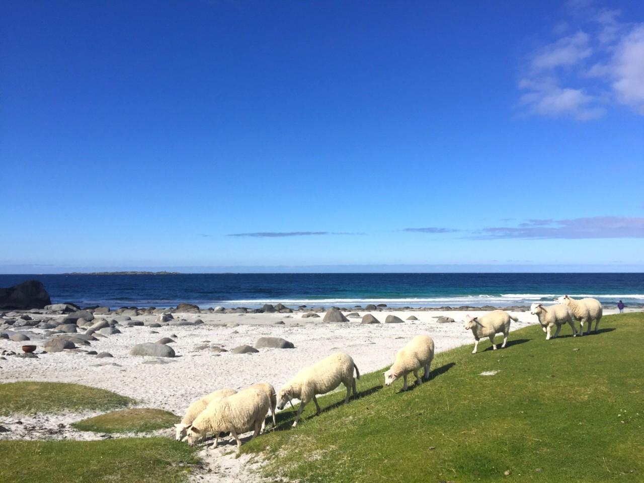 sheep-beach-strand-lofoten-anja-stang