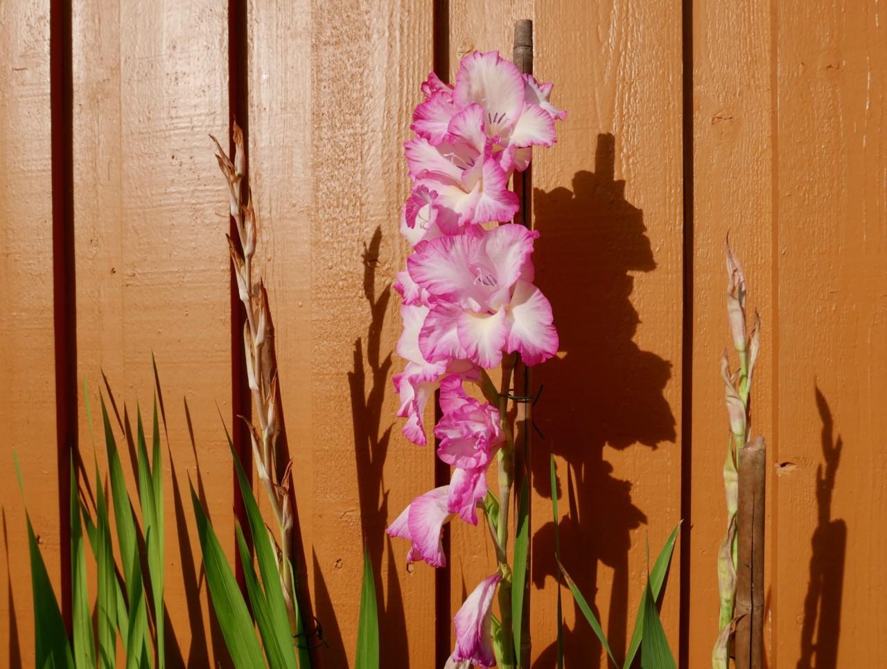 gladioler-blomster-bed-flowerbed-gladiolus-anja-stang