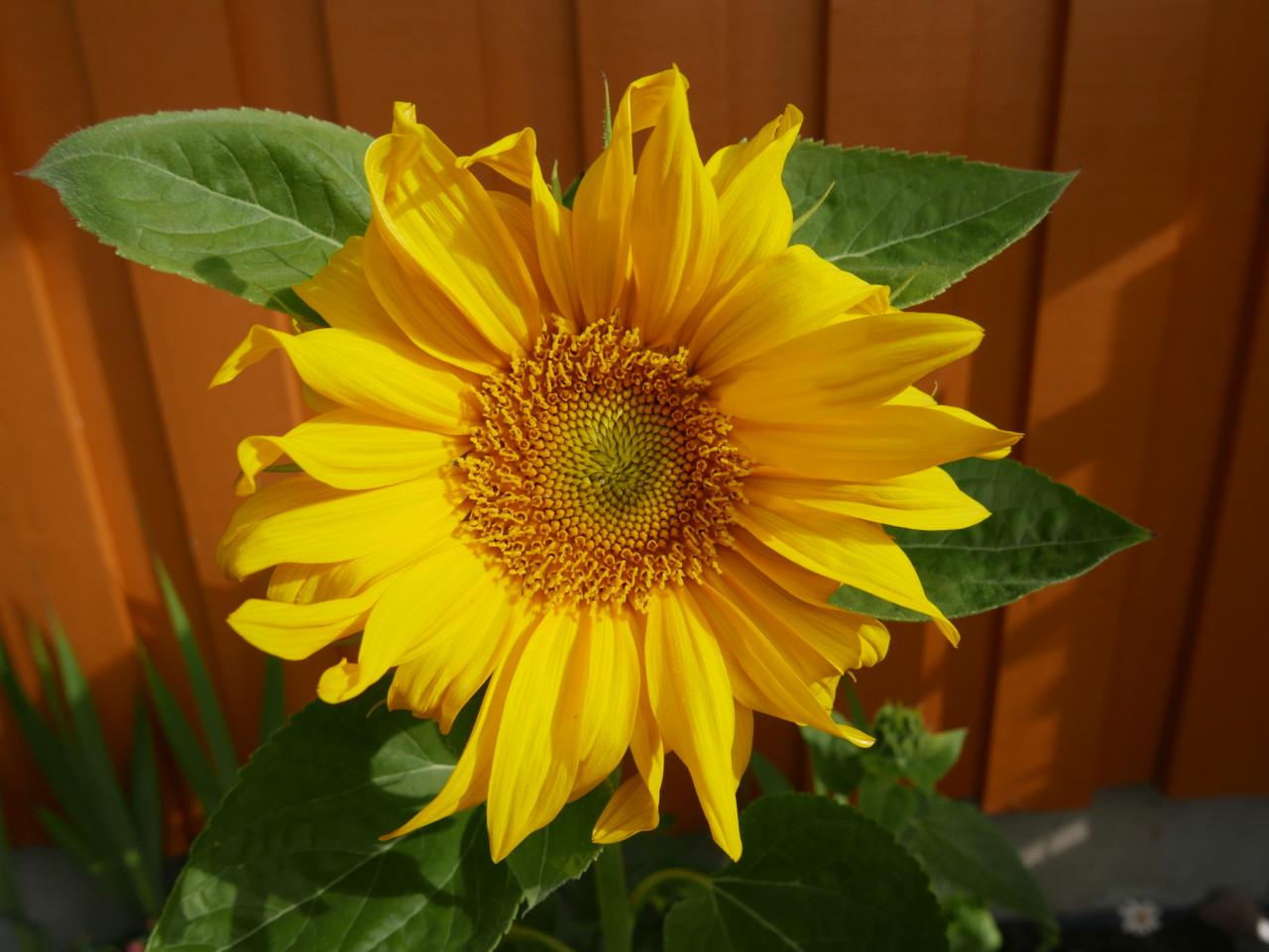 solsikke-sunflower-gul-hope-verdens-verste-dag