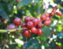 kaffe-baer-berries-busk-plukking-green-world