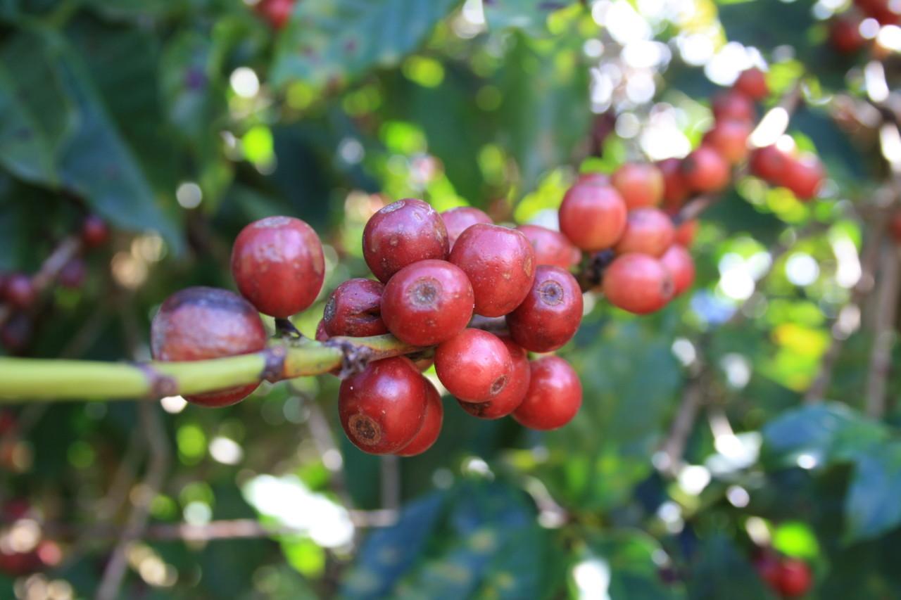 kaffe-baer-berries-busk-plukking-green-world