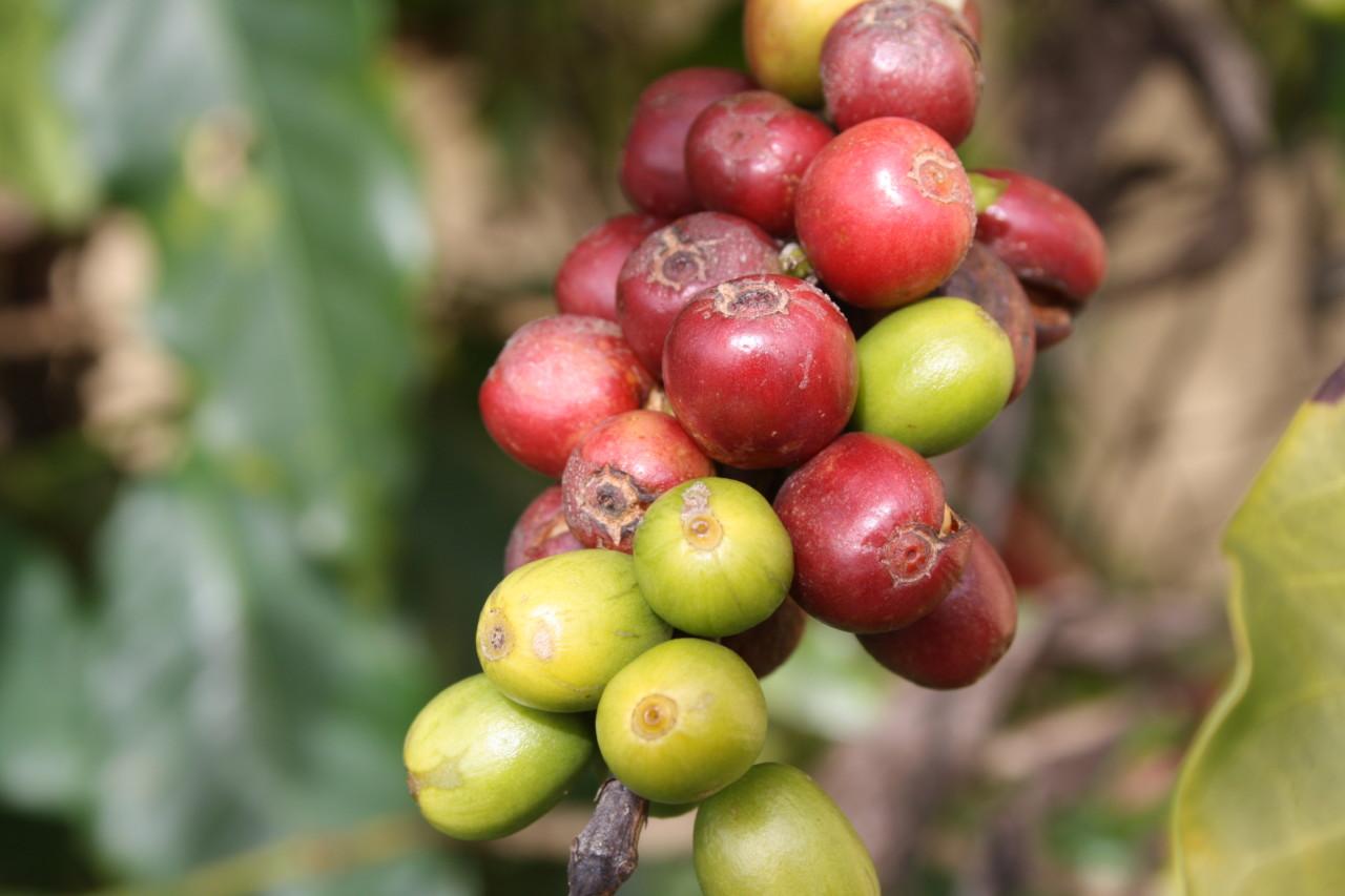 modne-umodne-kaffe-baer-plukking-green-world