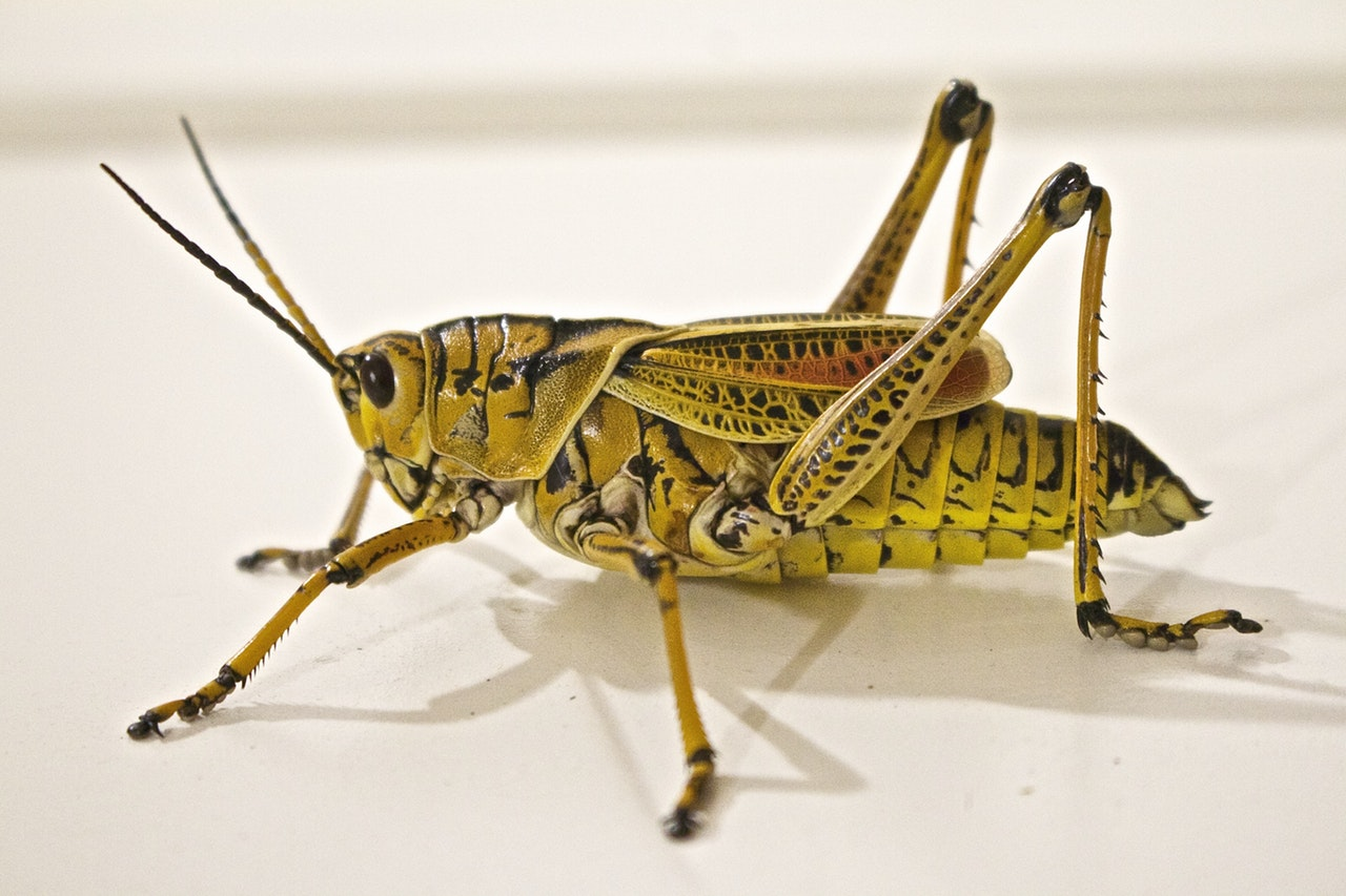 locust-jumping-grasshopper-gult-yellow-arets-farge