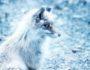 silver-fox-rev-pels-fur-green-house-pexels