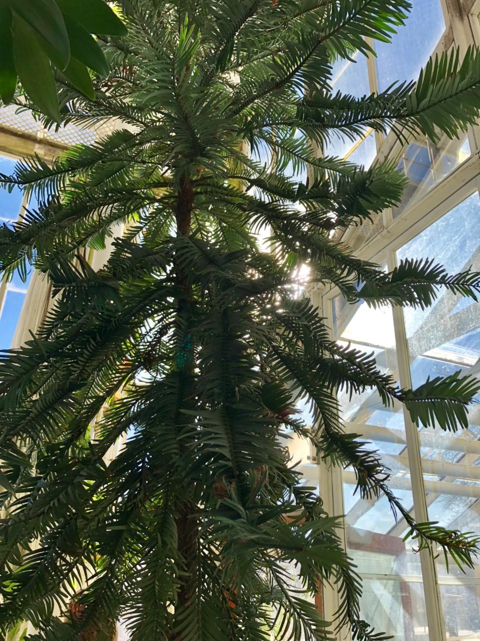tre-fra-dinosaurenes-tid-botanisk-hage-green-house