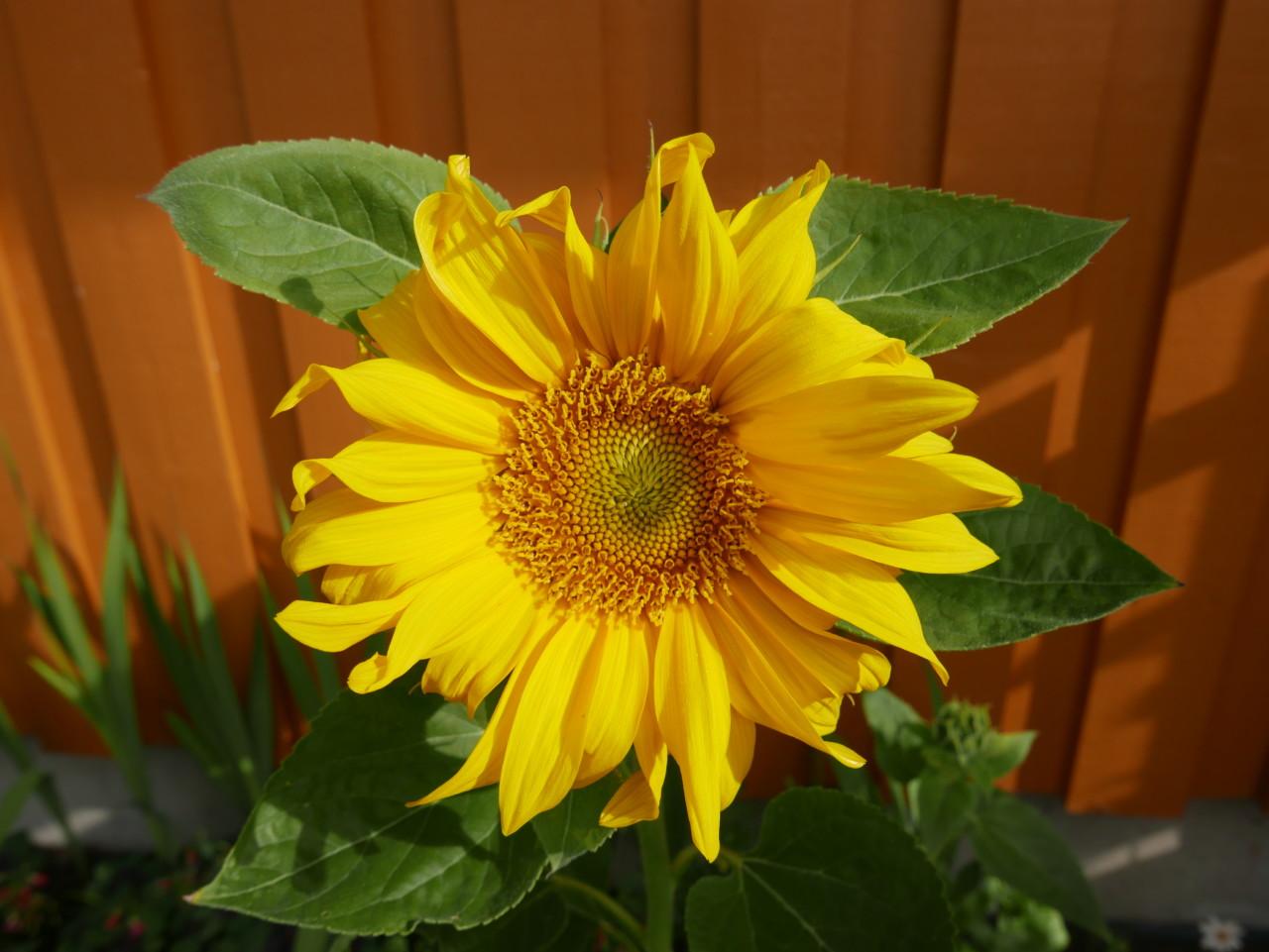 solsikke-anja-stang-green-house-otovo-nabostrom-sunflower