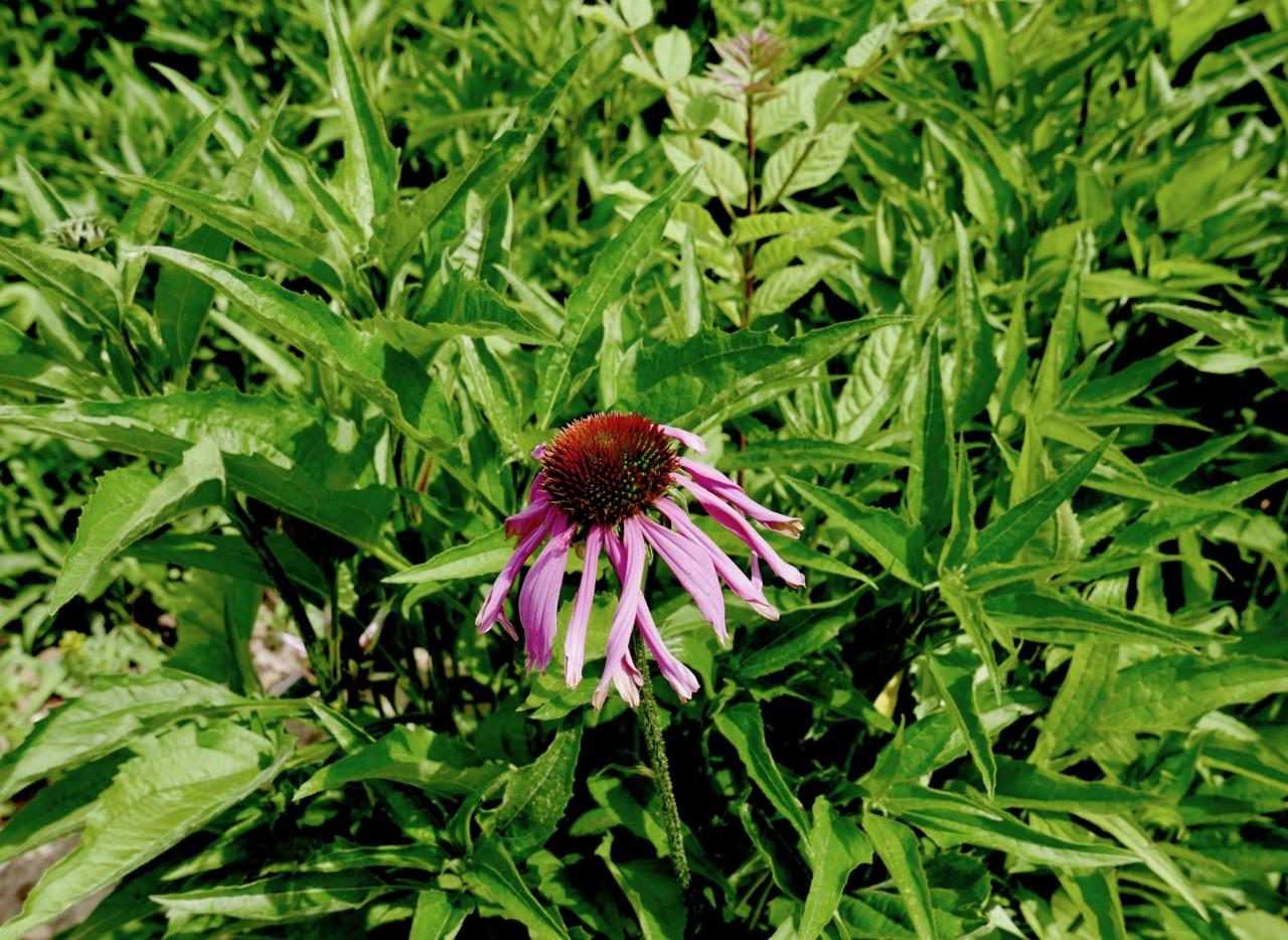 solhatt-echinacea-forkjolelse-natur-medisin-green-house