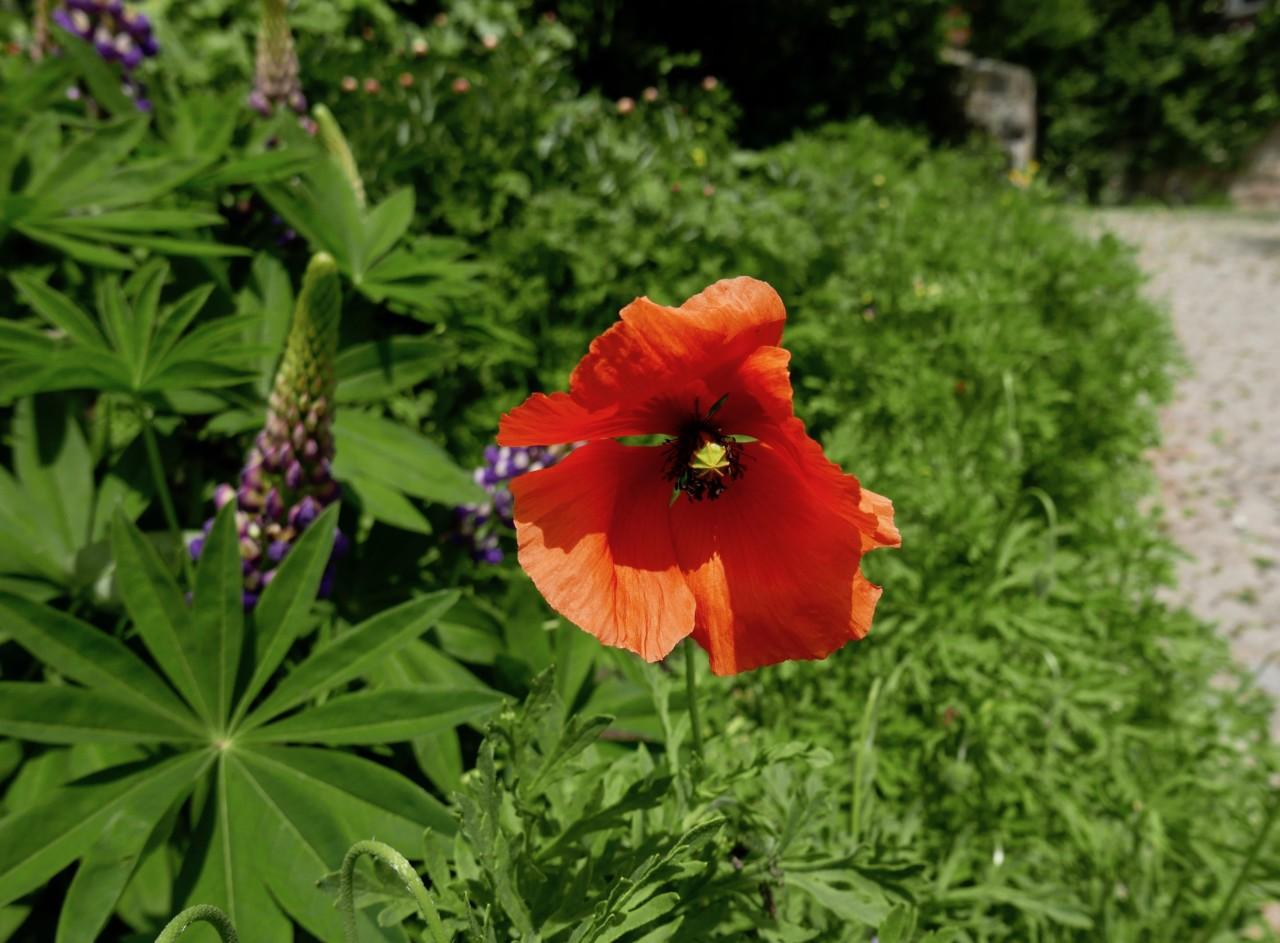 valmue-blomst-okologisk-a-vogel-green-house