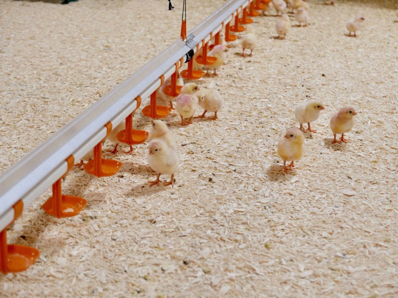 hovelsrud-gard-okologisk-kylling-produksjon