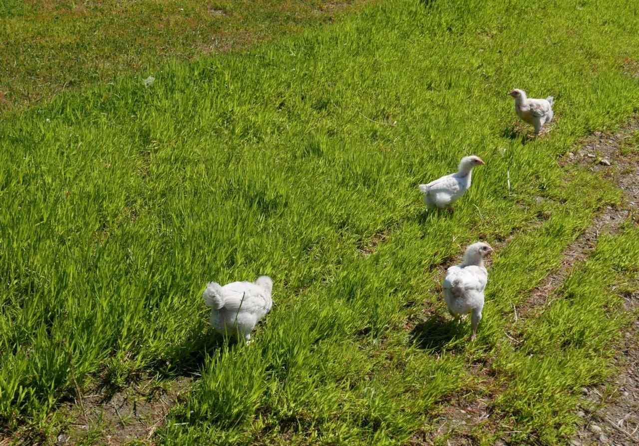 okologisk-kylling-fri-hovelsrud-gard