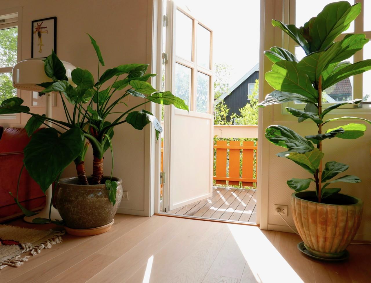 palme-gummifiken-gronne-fingre-plantetips-green-house