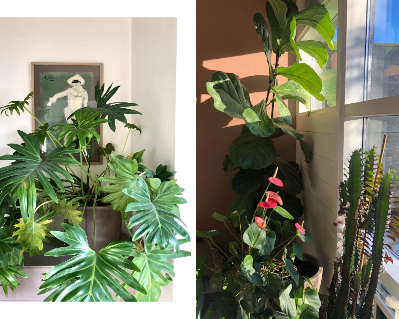 picasso-plante-fiolin-fiken-lilje-kaktus