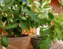 sitron-fiken-tre-planter-gronne-fingre-plantetips-green-house
