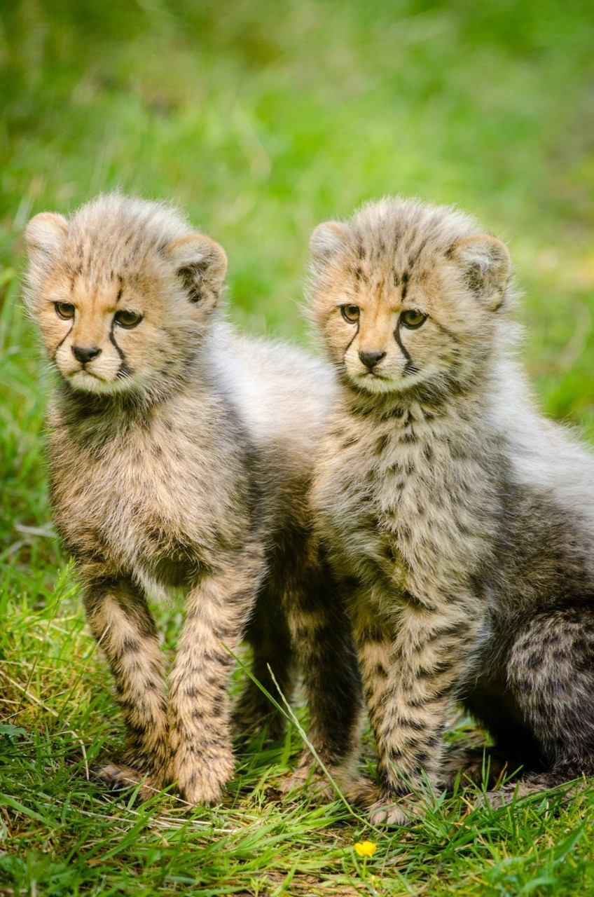 baby-cheetahs-cubs-cuteness-overload-green-house