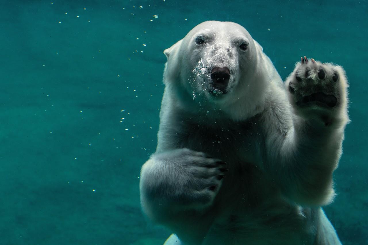 peter-neumann-polar-bear-isbjorn-surt-hav-unsplash