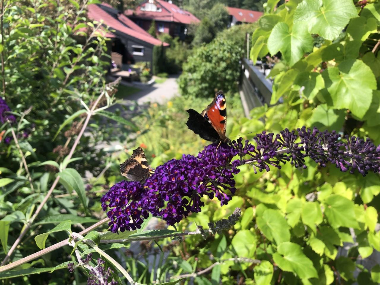 sommerfugl-busk-vindruer-blaabaerstien-nesodden-love-nytt-liv