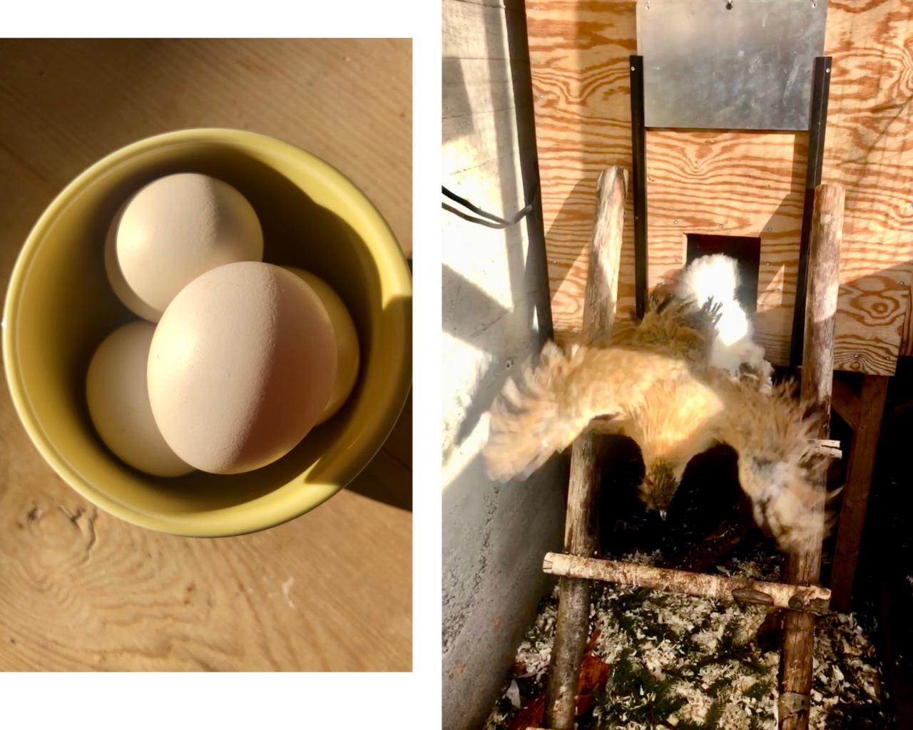 ureiste-ferske-egg-honer-naboer-nesodden